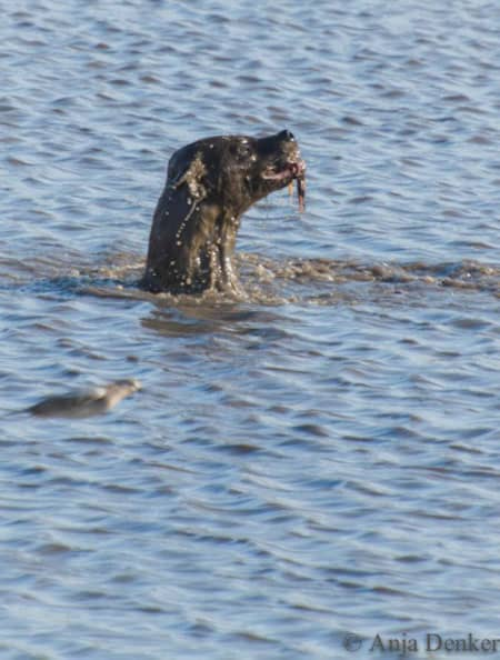 Hyena feeding of a submerged carcass