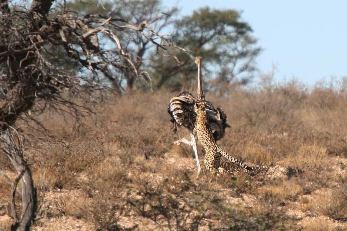 Cheetah kills Ostrich