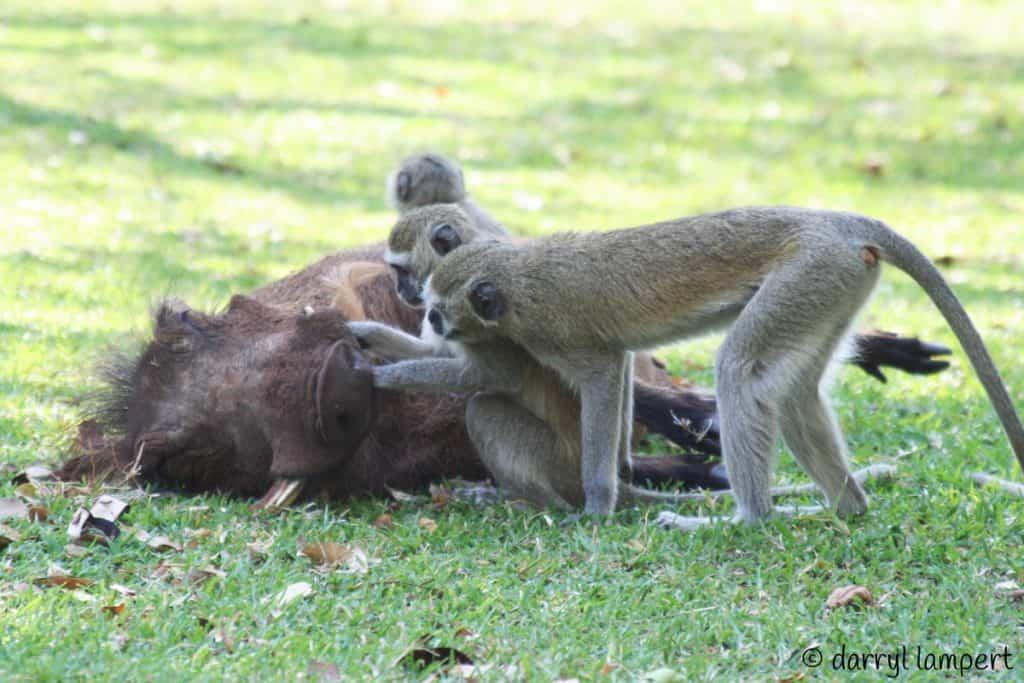 Vervet Monkey Grooming Warthog