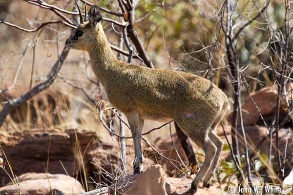 Klipspringer, Welgevonden Game Reserve