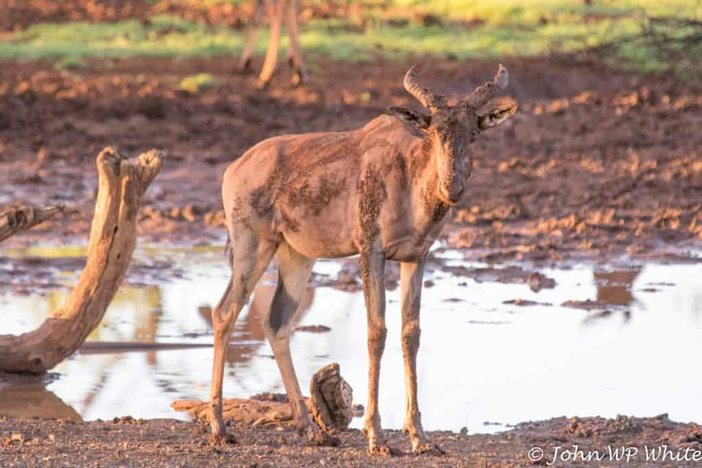 Tsessebe, Mokala National Park