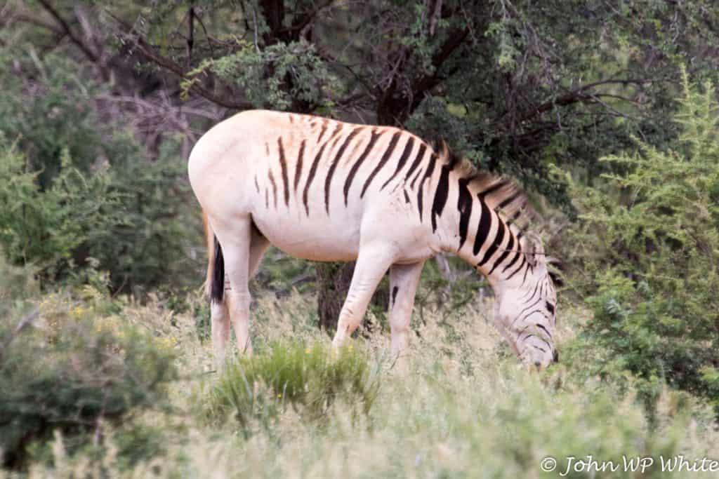 Plains Zebra Quagga, Mokala National Park